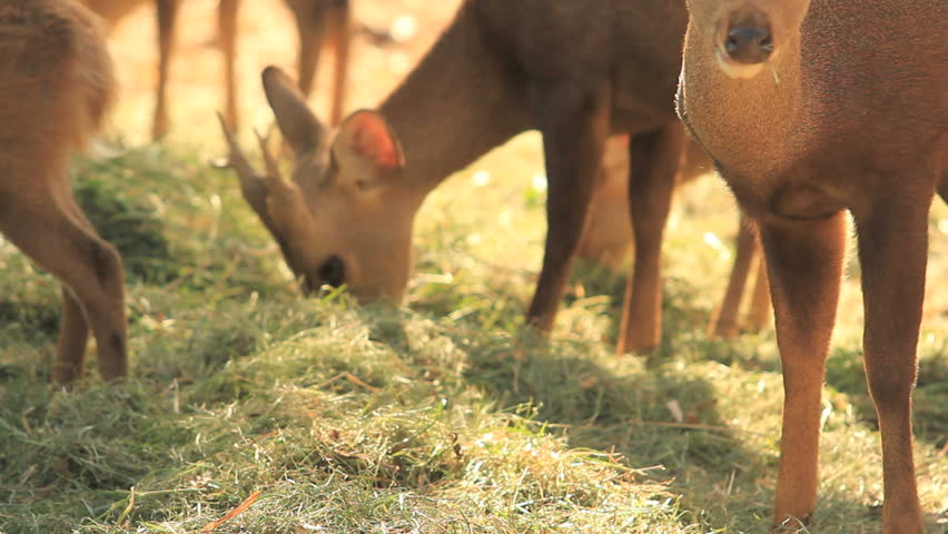 Brown deer eating grass - HD stock video clip