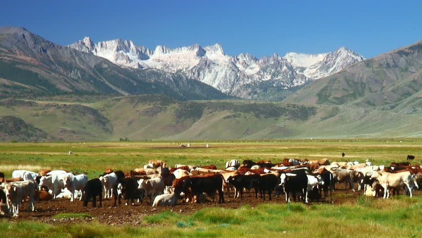 Frisky free range cattle before a mountain range  #255058