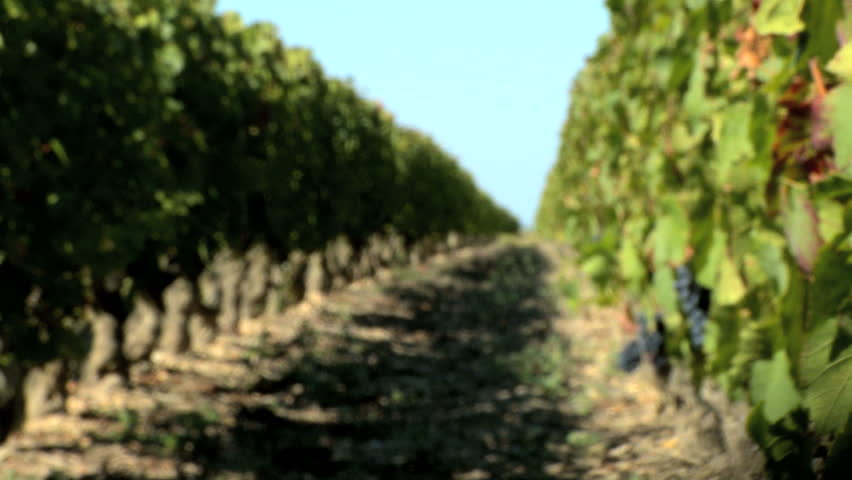 Rows of grapevines ready for harvest - HD stock footage clip