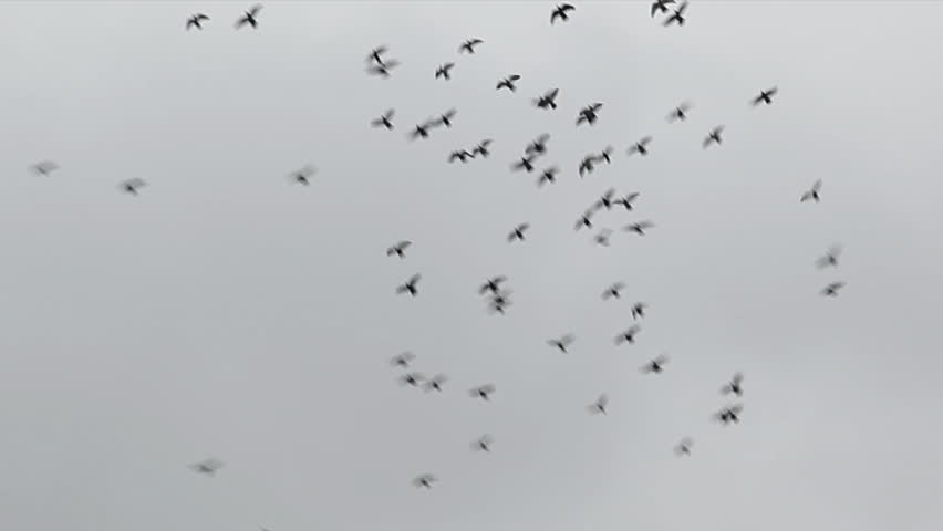 A flock of birds, pigeons, fly around in the sky making a large circle during an overcast day - HD stock video clip