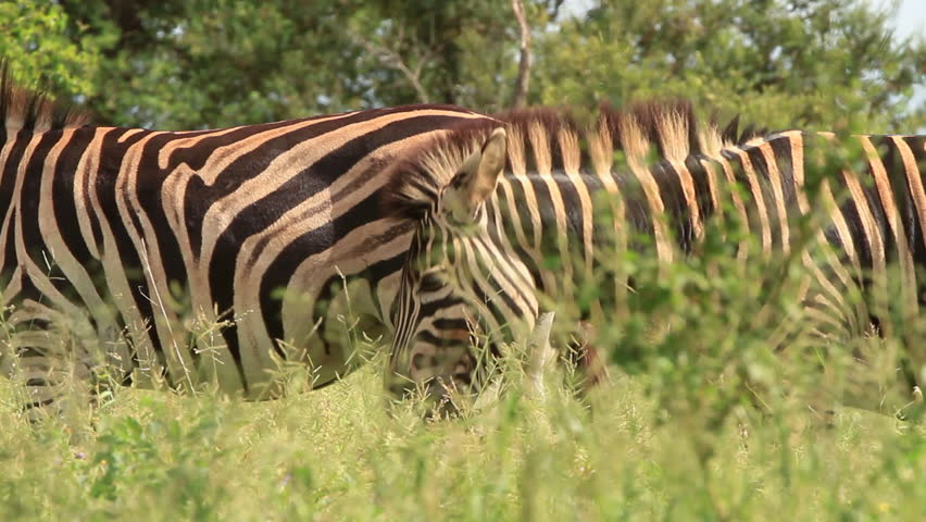 Shot while on Safari in Africa these Zebras (Equus burchelli) are nuzzling before mating.