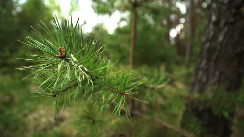 Pine branch with spiderweb close up. #26850364