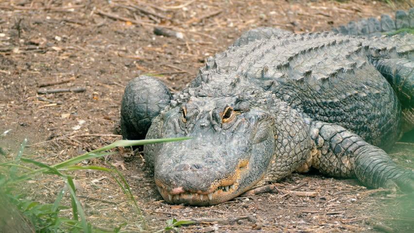 Header of Alligator mississippiensis