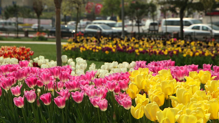 Yellow, Pink and White Tulips in a Park | Shutterstock HD Video #27105496