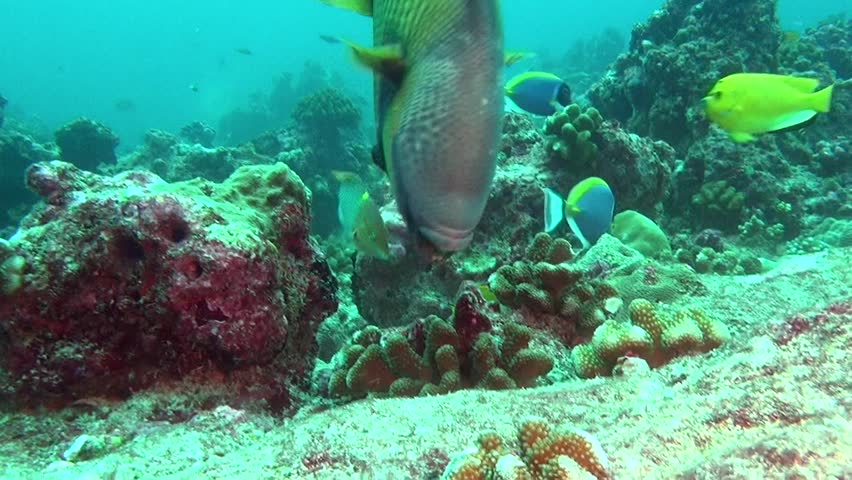 Wrasse fish on background of clear seabed underwater of Maldives. Swimming in world of colorful beautiful seascape. Aquarium of wild nature. Abyssal relax diving. | Shutterstock HD Video #27200923