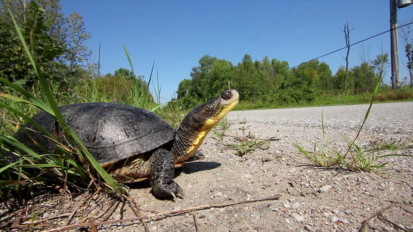 An Endangered Blanding's Turtle (Emydoidea blandingii) Looks Out Onto the Road as a Car Speeds By and the Turtle Jerks its Head in its Shell. Road Mortality is a Leading Cause of Decline in Turtles.