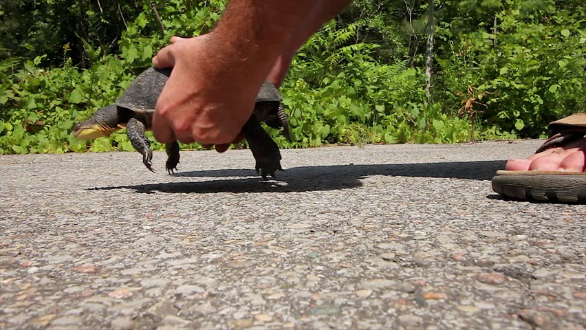 Close-up of Man Assisting an Endangered Blanding's Turtle (Emydoidea blandingii) Across the Road Before the Turtle Gets Killed by a Car. Road Mortality is a Leading Cause of Decline in Turtles. - HD stock footage clip