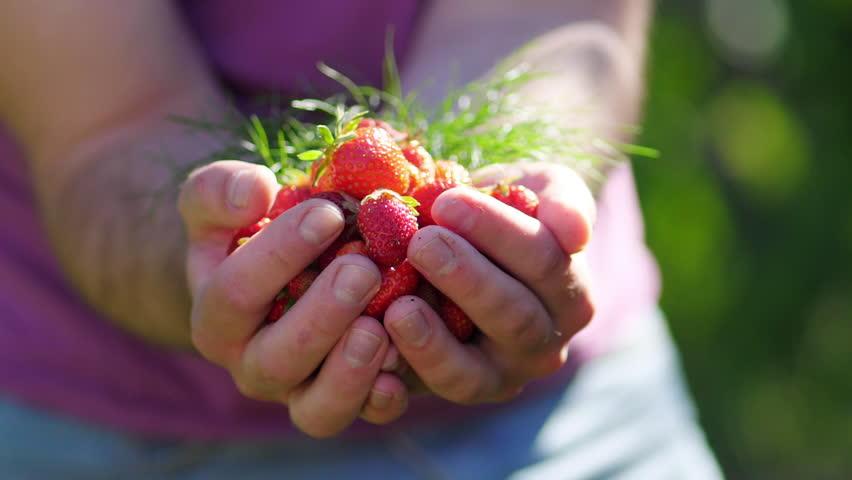 Fresh organic strawberries in human hands #27551212