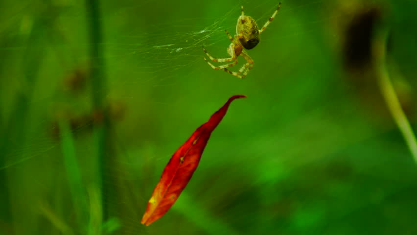 Spider and a red leaf - HD stock video clip
