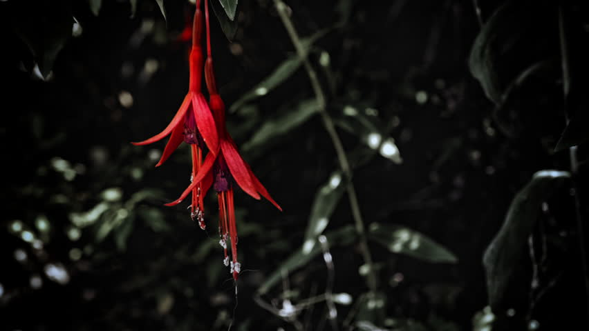 Fuchsia flower in close up stock footage. Bright red Fuchsia flower in close up against a vibrant green leafy background #28219120