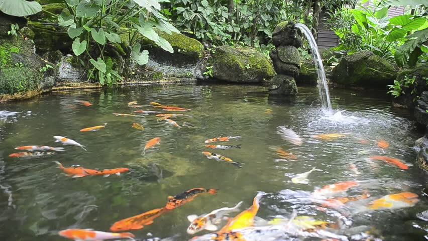 Fancy carp are swimming in a waterfall in the pond koi for Koi pond maker