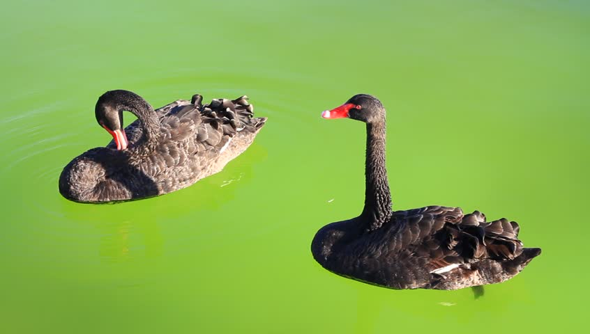 Couple of swan floating on green background - HD stock video clip