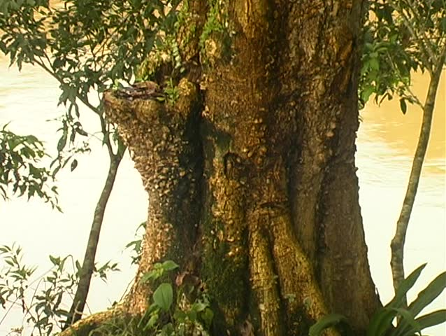 Amazonian tree with excrescences on the trunk resembling a face or humanoid figure - SD stock video clip