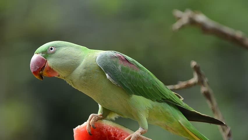 Header of Alexandrine parakeet