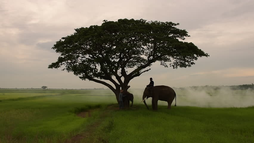 Silhouettes of Asia elephants walking along  in the middle of the field  with big tree in the fog storm and light ray on sunrise.Mahout and the elephant in the morning. | Shutterstock HD Video #28554847