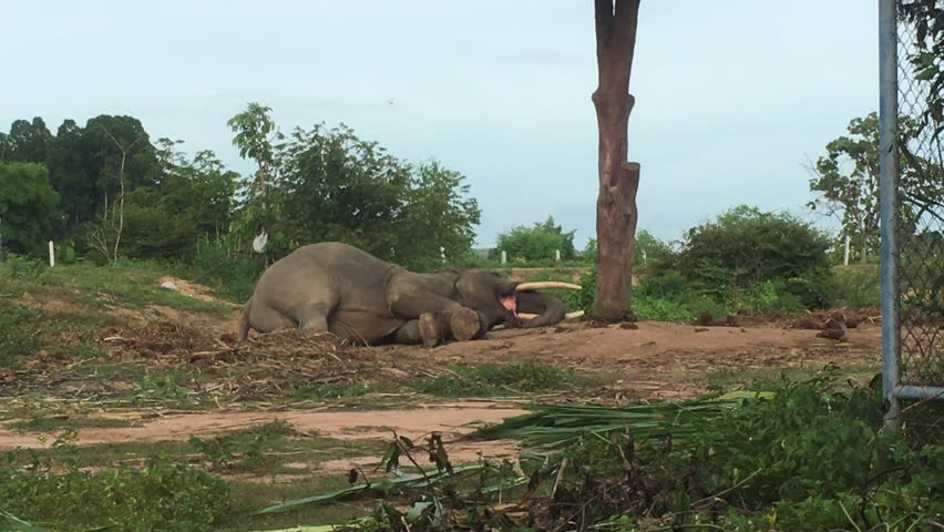 An Asia elephants laying playing fun in the elephant village. | Shutterstock HD Video #28554856