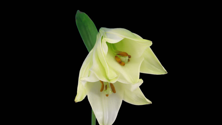 Time-lapse of opening white Easter lily 9b1 in PNG+ format with alpha transparency channel isolated on black background.  - HD stock video clip