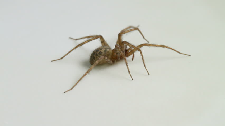 Common House spider (Tegenaria domestica), female, spinning around on a neutral white background, part of the family Agelenindae - HD stock video clip
