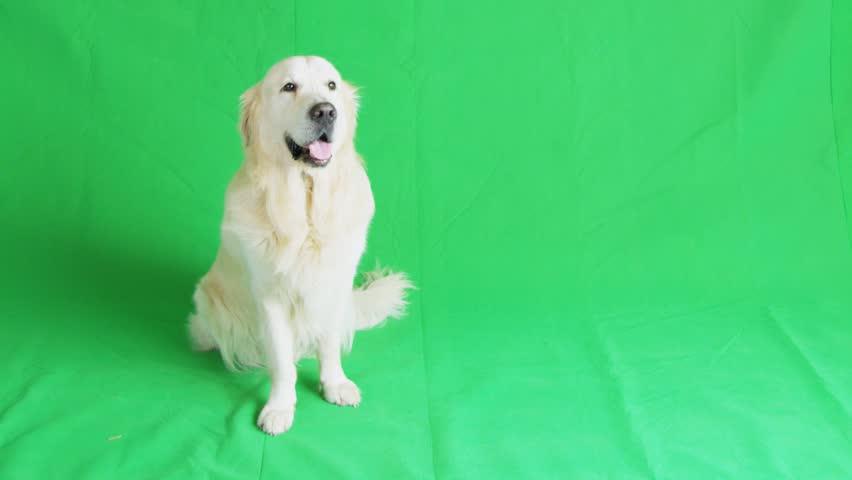 Golden retriever on green chroma key background. - HD stock footage clip