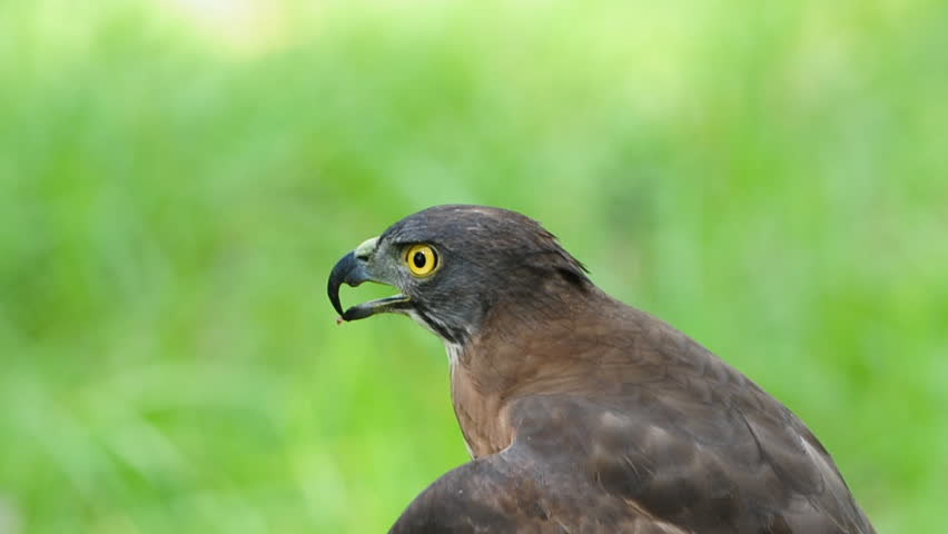 Header of Accipiter trivirgatus