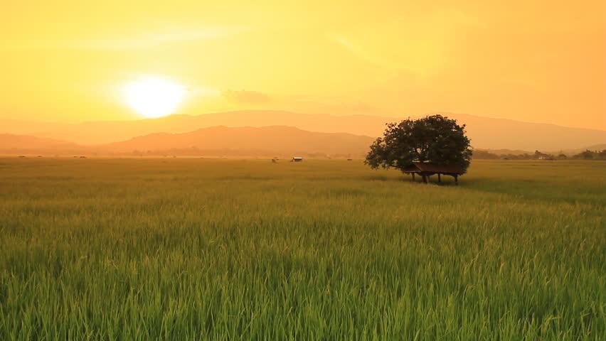 Landscape of rice farm in Thailand : Crane shot