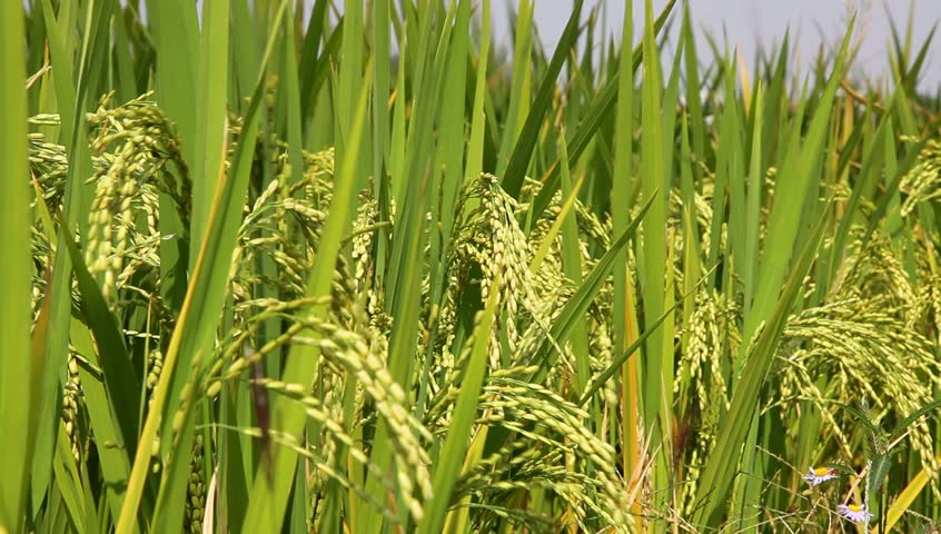 ripe rice with heavy rice head in the autumn - HD stock video clip