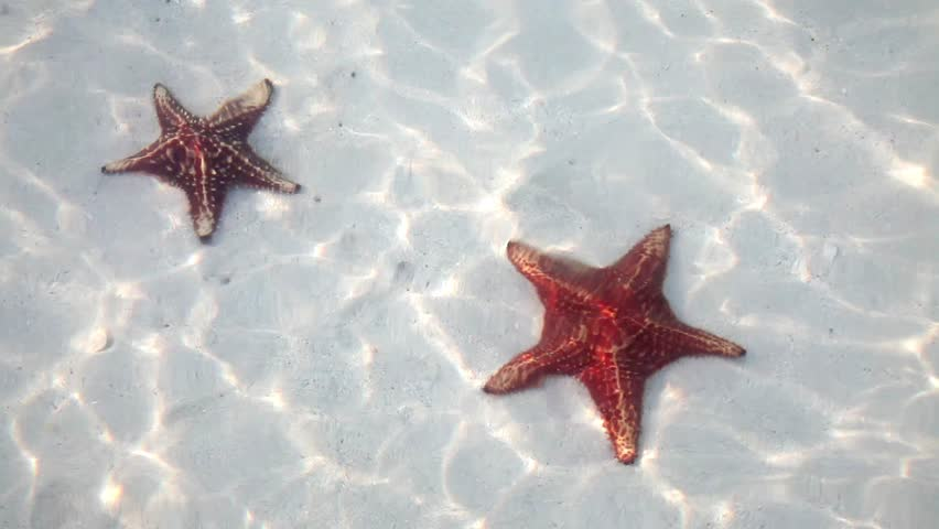 Two starfish sunbathing in shallow waters of Cayman Islands
