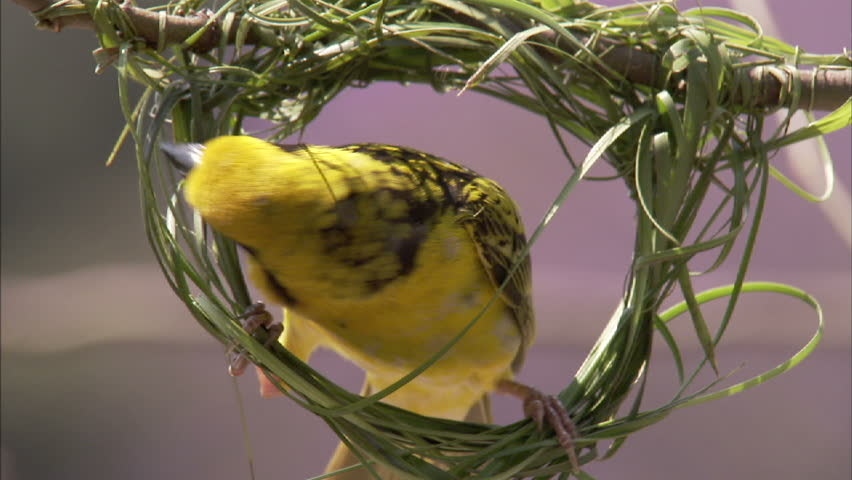 A close-up shot of a spotted backed weaver building his nest by weaving lush green grass together. | Shutterstock HD Video #2955130