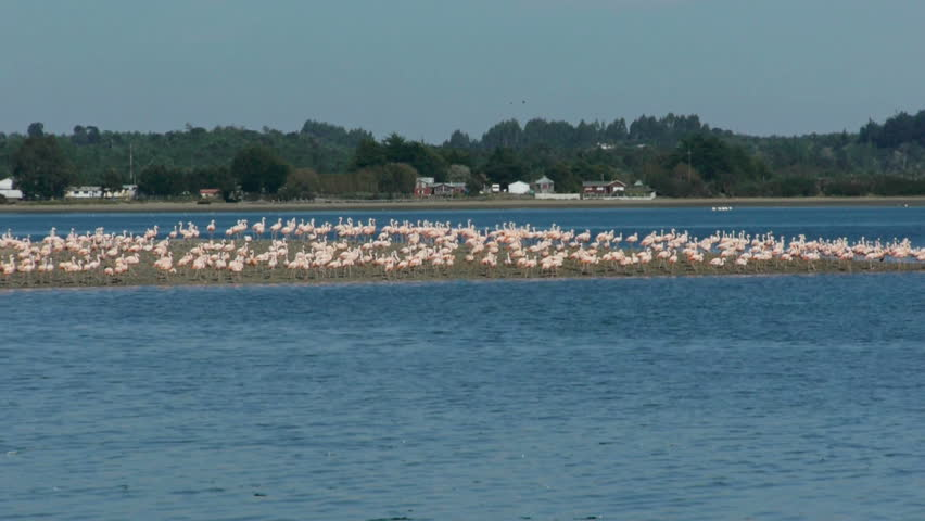 Large group of flamingos walking on peninsula  - HD stock footage clip