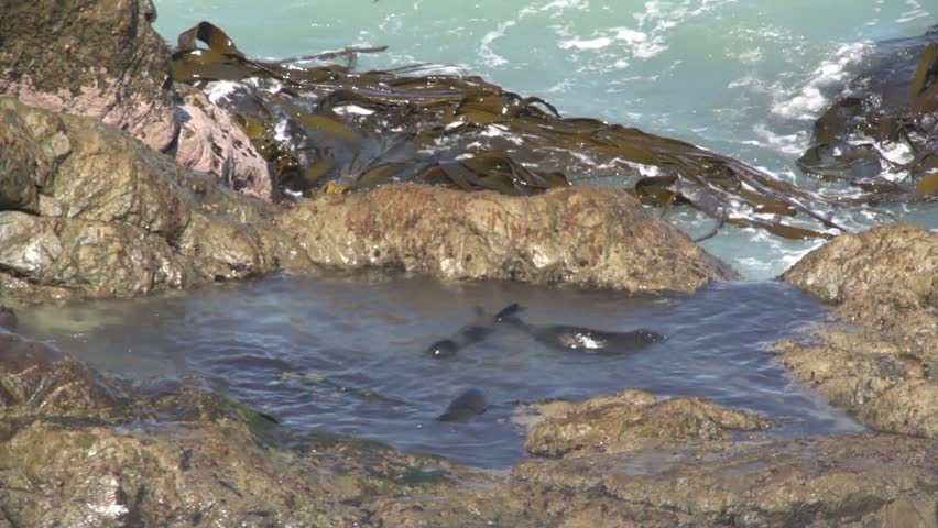 Kaikoura, New Zealand October 2012. Young seals playing in a rock pool on the
