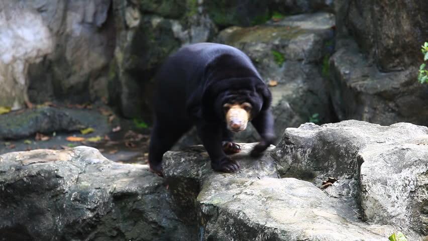Big Brown Bear Sleeping Then Waking Up Stock Footage Video