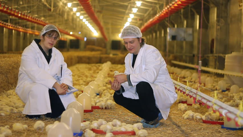 Chicken Farm Farmer And Female Veterinarian Controlling The Production Of Poultry Baby Chicken Stock Footage Video 3037813 Shutterstock