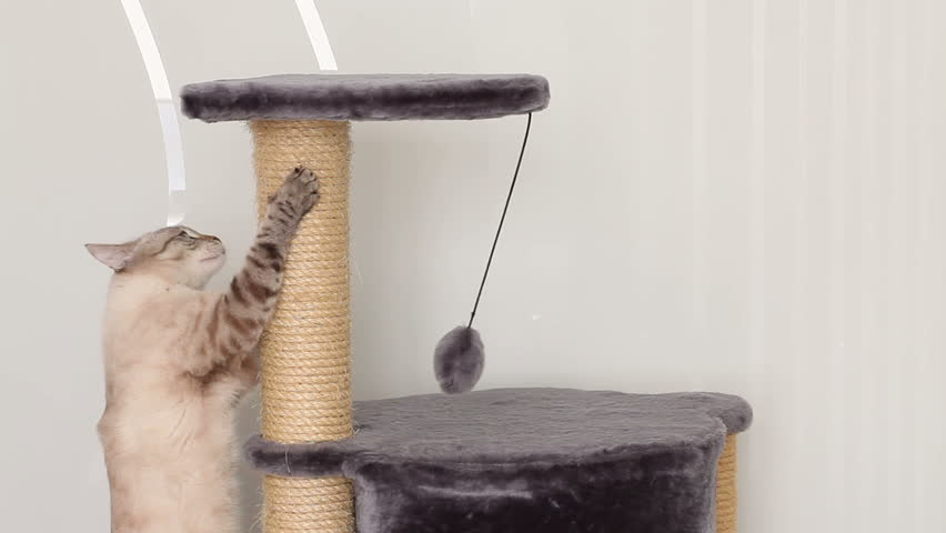 Thai cat jumps on the scratching post (a few times). - HD stock footage clip