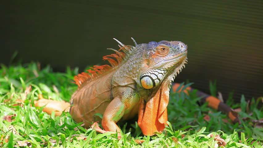 iguana - HD stock video clip