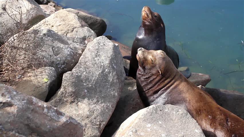 California Seals commonly called Sea Lions in Morro Bay, California, USA  - HD stock video clip