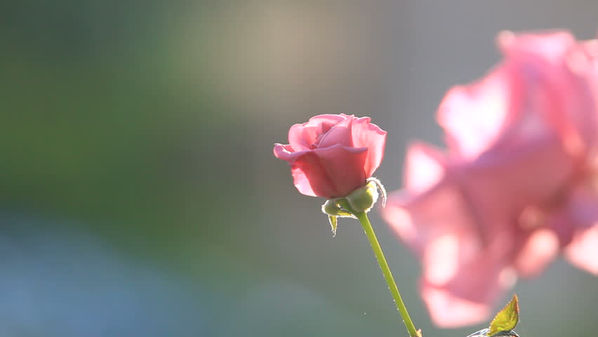 pink rose - HD stock footage clip