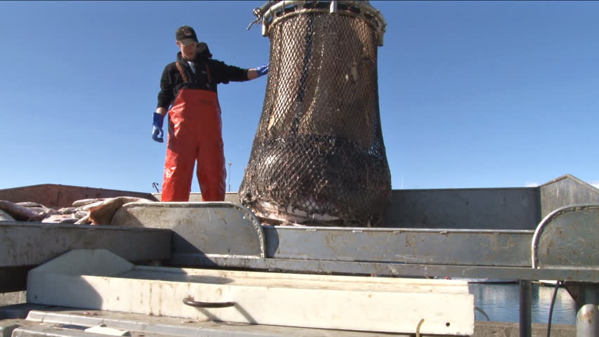 Homer, AK - CIRCA 2011: Young man releases the catch on the net and halibut