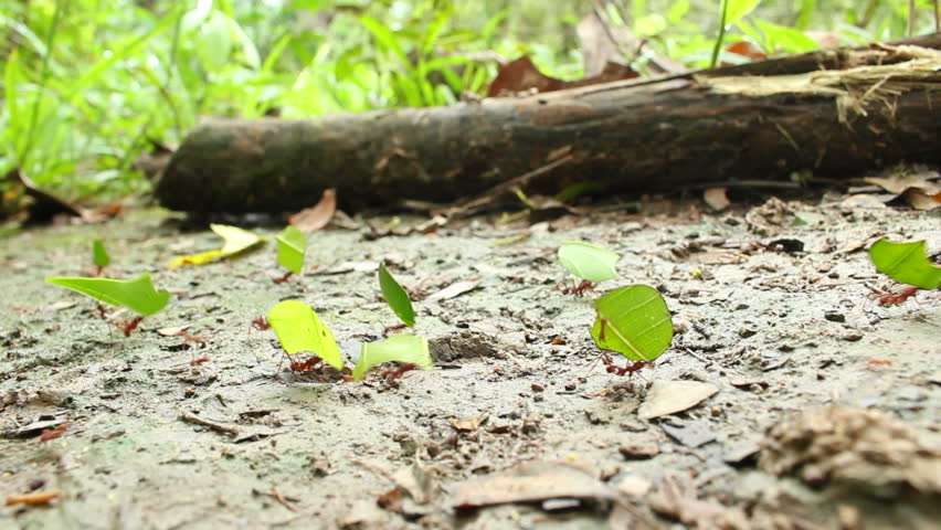 Leaf Cutter Ants (Atta sp.)  carrying leaves to their nest in the rainforest, Ecuador - HD stock footage clip