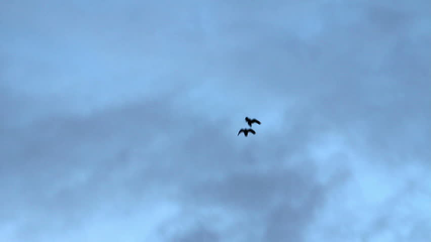 A pair of Ravens glide through the Icelandic winter sky. The Raven is known for a being a social and intelligent bird.  - HD stock video clip
