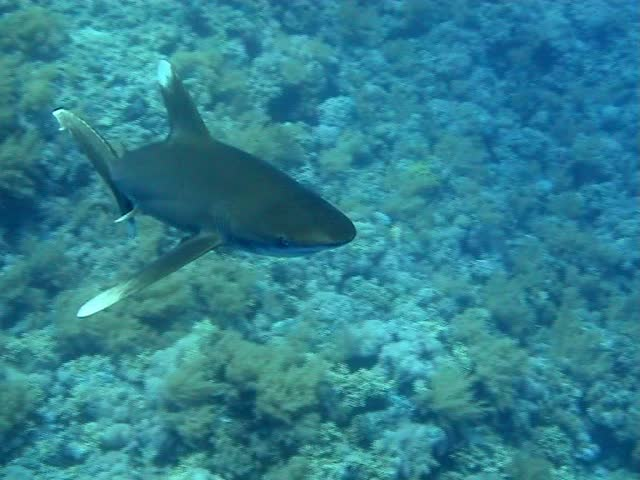 Deadly shark swimming towards camera in the Red Sea - SD stock video clip