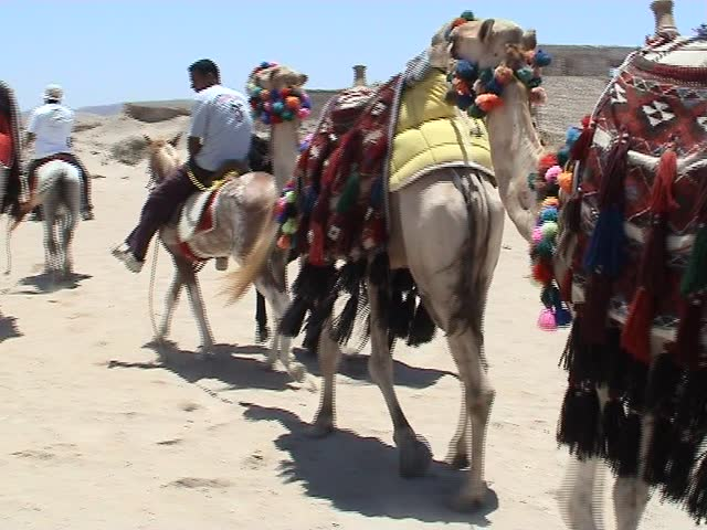 Camels walking into the desert, Egypt - SD stock footage clip