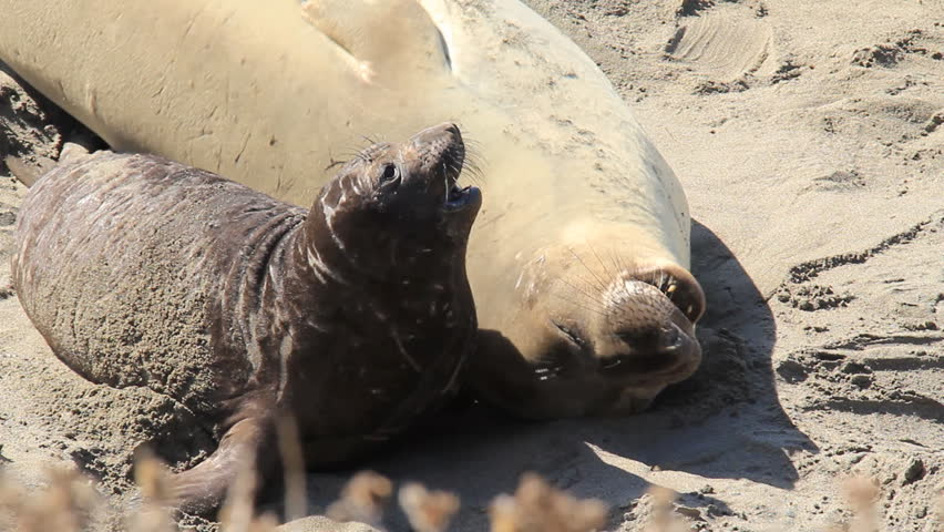 Elephant Seal Pup and Mother on a beach. Has an entertaining interaction.
