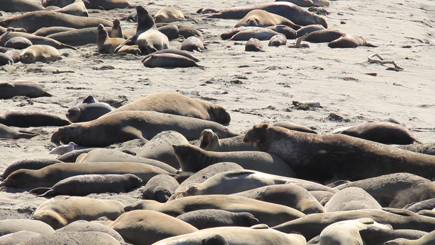 A colony of Northern Elephant Seals on a California beach.
