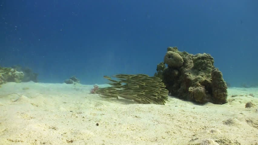Shoal Juvenile Fish on Coral Reef, Red sea - HD stock footage clip