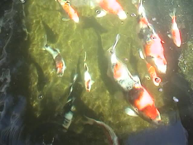 Beautiful koi fish swim in koi ponds stock footage video for Beautiful koi fish