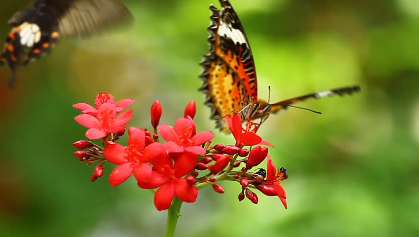 Butterflies and flowers. - HD stock video clip