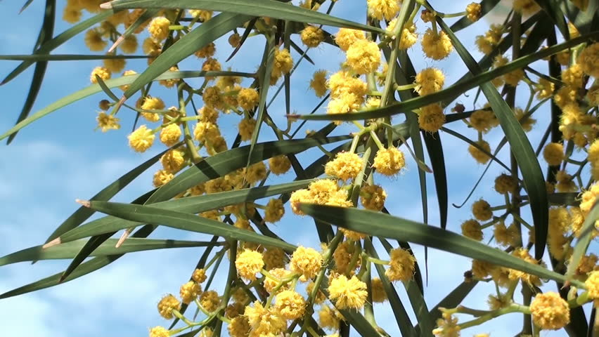 Header of Acacia cyanophylla