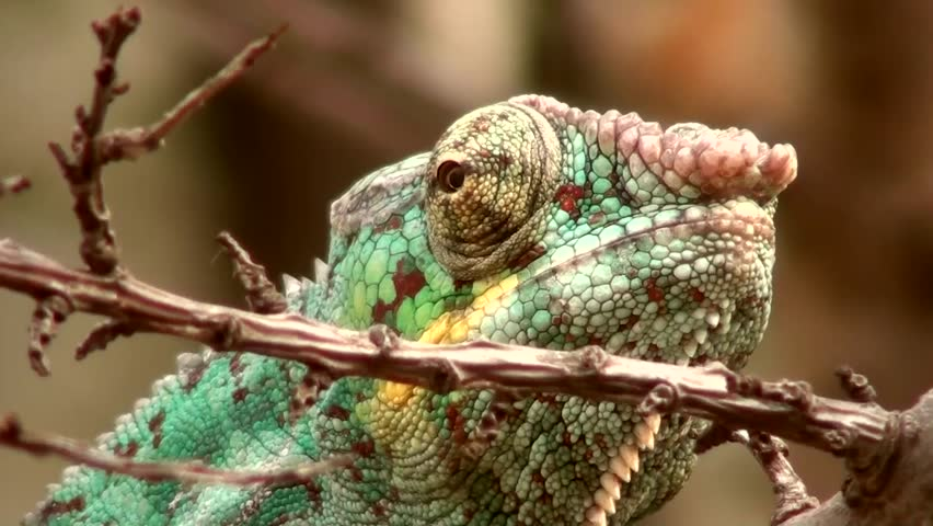 Panther chameleon (Furcifer pardalis) - HD stock footage clip