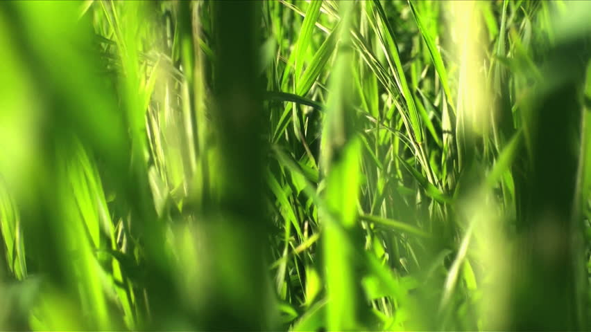 Moving Through Grass - BUG POV - HD stock footage clip