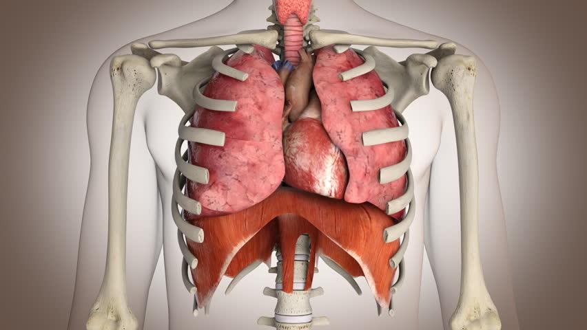 Human internal organs in action - Loop ready